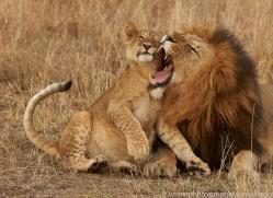 lion-copyright-photographers-on-safari-com-7953
