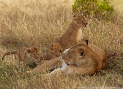 lion-copyright-photographers-on-safari-com-7954