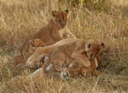 lion-copyright-photographers-on-safari-com-7955