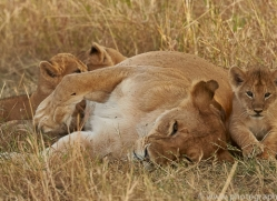 lion-copyright-photographers-on-safari-com-7956