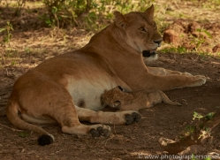 lion-copyright-photographers-on-safari-com-7959