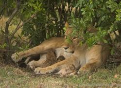 lion-cubs-masai-mara-1577-copyright-photographers-on-safari-com