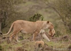 lion-cubs-masai-mara-1578-copyright-photographers-on-safari-com