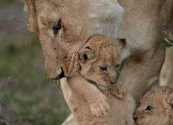 lion-cubs-masai-mara-1579-copyright-photographers-on-safari-com