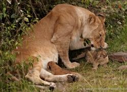 lion-cubs-masai-mara-1580-copyright-photographers-on-safari-com