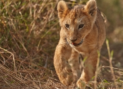 lion-cubs-masai-mara-1583-copyright-photographers-on-safari-com