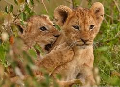 lion-cubs-masai-mara-1584-copyright-photographers-on-safari-com