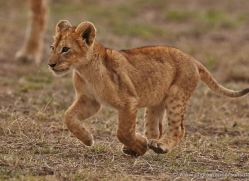 lion-cubs-masai-mara-1585-copyright-photographers-on-safari-com