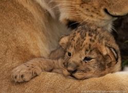 lion-cubs-masai-mara-1586-copyright-photographers-on-safari-com