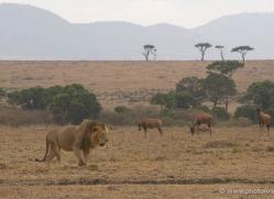 lion-masai-mara-1541-copyright-photographers-on-safari-com