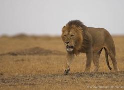 lion-masai-mara-1543-copyright-photographers-on-safari-com