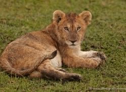 lion-masai-mara-1546-copyright-photographers-on-safari-com