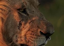 lion-masai-mara-1547-copyright-photographers-on-safari-com
