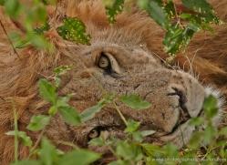 lion-masai-mara-1549-copyright-photographers-on-safari-com