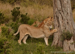 lion-masai-mara-1550-copyright-photographers-on-safari-com