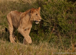 lion-masai-mara-1551-copyright-photographers-on-safari-com