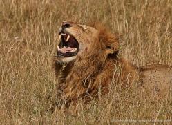 lion-masai-mara-1552-copyright-photographers-on-safari-com