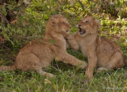 lion-masai-mara-1553-copyright-photographers-on-safari-com