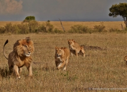 lion-masai-mara-1555-copyright-photographers-on-safari-com