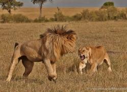 lion-masai-mara-1556-copyright-photographers-on-safari-com