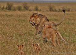lion-masai-mara-1557-copyright-photographers-on-safari-com