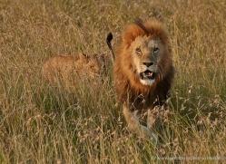 lion-masai-mara-1558-copyright-photographers-on-safari-com
