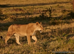 lion-masai-mara-1559-copyright-photographers-on-safari-com