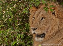 lion-masai-mara-1564-copyright-photographers-on-safari-com