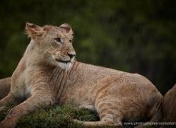 lion-masai-mara-1565-copyright-photographers-on-safari-com