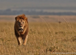 lion-masai-mara-1567-copyright-photographers-on-safari-com
