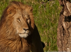 lion-masai-mara-1568-copyright-photographers-on-safari-com