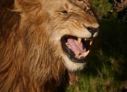 lion-masai-mara-1569-copyright-photographers-on-safari-com