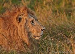 lion-masai-mara-1571-copyright-photographers-on-safari-com