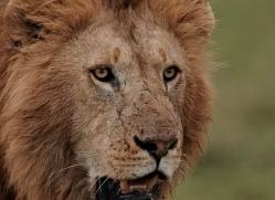 lion-masai-mara-1572-copyright-photographers-on-safari-com