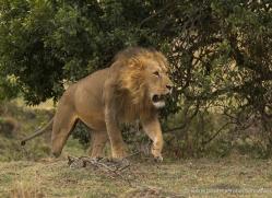 lion-masai-mara-1576-copyright-photographers-on-safari-com