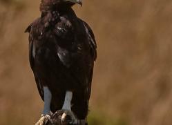 long-crested-eagle-masai-mara-1680-copyright-photographers-on-safari-com