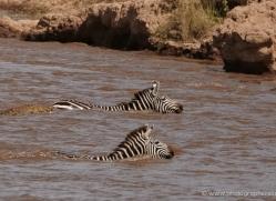 migration-river-crossings-masai-mara-1608-copyright-photographers-on-safari-com