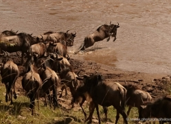 migration-river-crossings-masai-mara-1610-copyright-photographers-on-safari-com