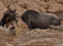 migration-river-crossings-masai-mara-1613-copyright-photographers-on-safari-com
