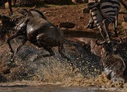migration-river-crossings-masai-mara-1615-copyright-photographers-on-safari-com