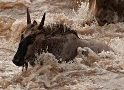 migration-river-crossings-masai-mara-1616-copyright-photographers-on-safari-com