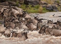 migration-river-crossings-masai-mara-1617-copyright-photographers-on-safari-com