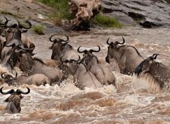 migration-river-crossings-masai-mara-1618-copyright-photographers-on-safari-com