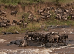 migration-river-crossings-masai-mara-1619-copyright-photographers-on-safari-com