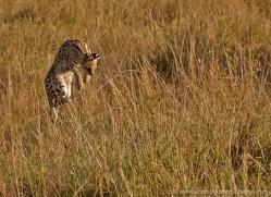 serval-masai-mara-1670-copyright-photographers-on-safari-com