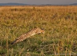 serval-masai-mara-1672-copyright-photographers-on-safari-com