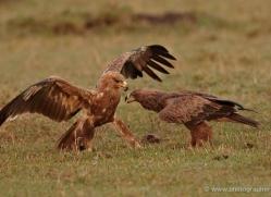tawny-eagle-masai-mara-1679-copyright-photographers-on-safari-com