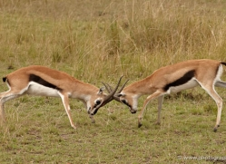 thomsons-gazelle-masai-mara-1698-copyright-photographers-on-safari-com