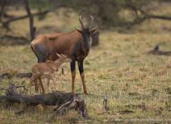 topi-masai-mara-1603-copyright-photographers-on-safari-com