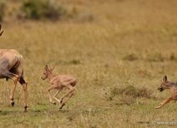 topi-masai-mara-1604-copyright-photographers-on-safari-com